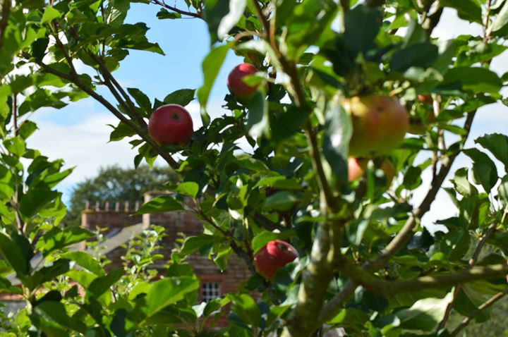 Apple tree at Acorn Bank